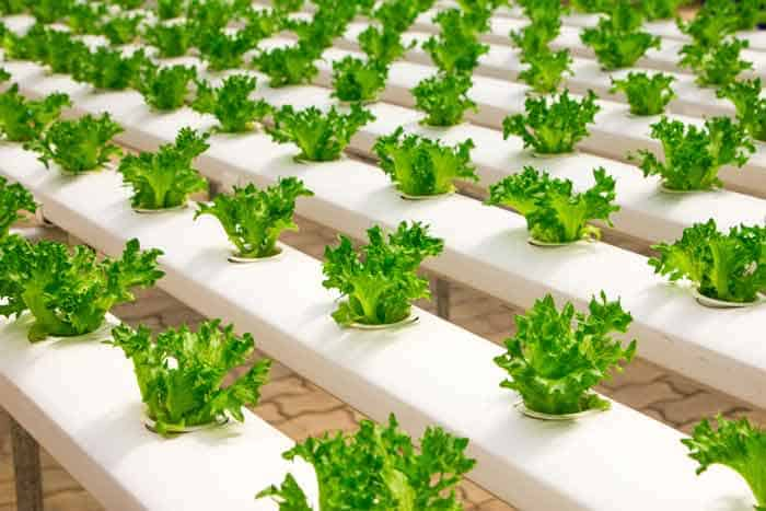 Is Aquaponics Vegan? After All, Fish Feed the Veggies! – Learn 1 Frightening Truth 2